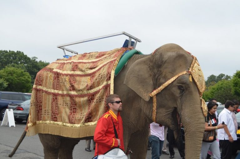 Elephant Baraat at Indian Wedding in NY 2014